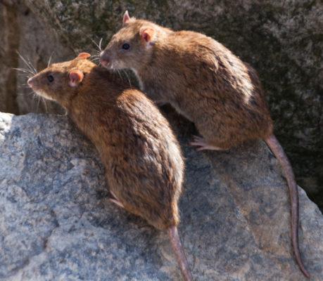 Борьба с крысами – битва за место под солнцем!